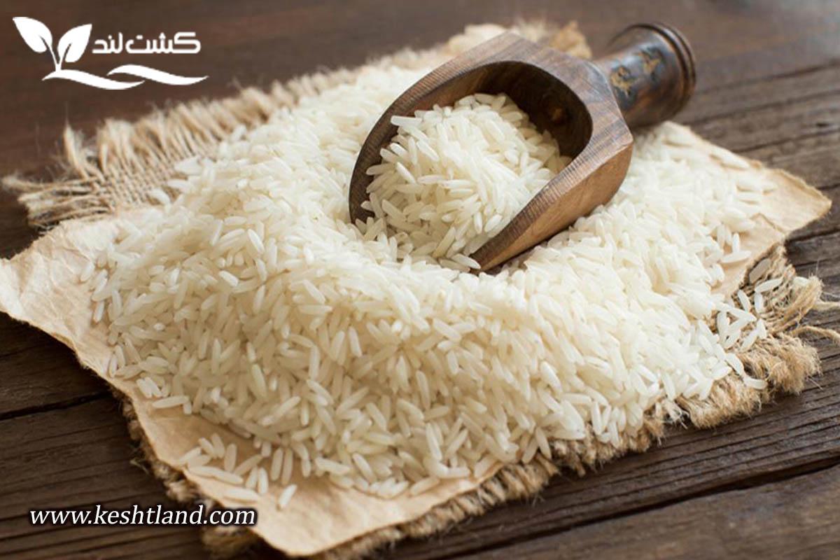 برنج شیرودی چیست؟
