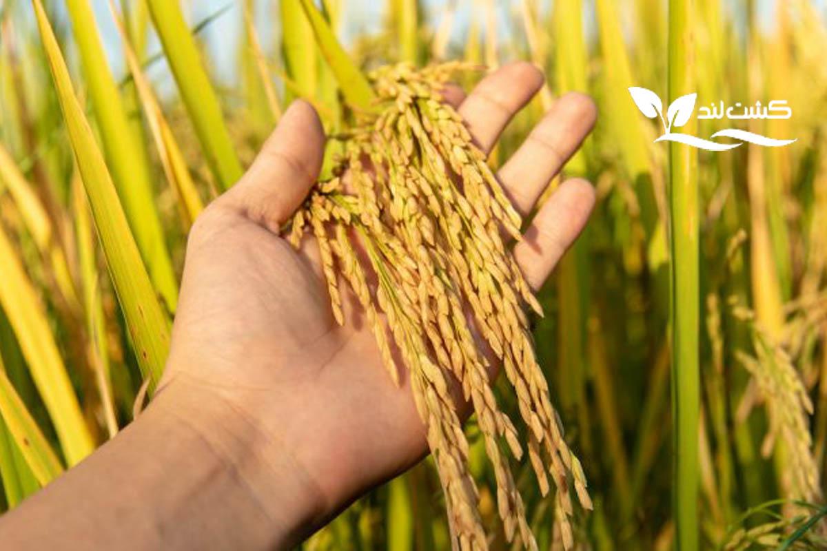 برنج هاشمی چیست؟ خصوصیات و ویژگی های آن