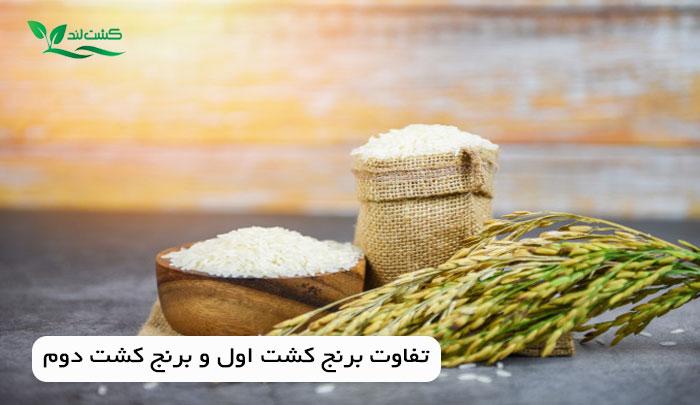 تفاوت برنج کشت اول و برنج کشت دوم