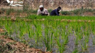 برنج عنبربو یکی از با کیفیت ترین برنج های منطقه جنوب است.